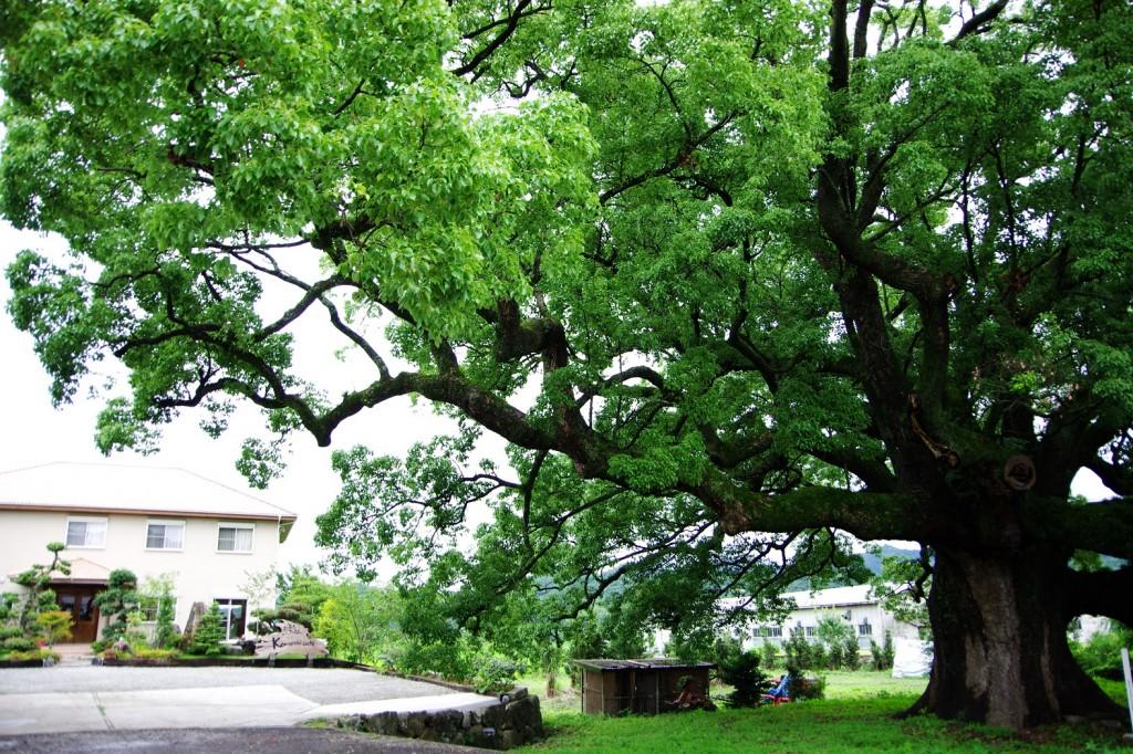 ♪この~木なんの木 でっかい木!の下にできた「こもれびカフェ」で癒されたのです