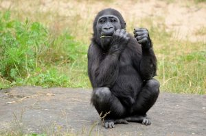 gorilla-315059_960_720-300x199