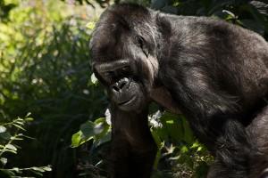 gorilla-841596_960_720
