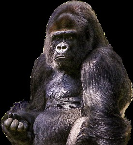 gorilla-1596803_960_720-275x300
