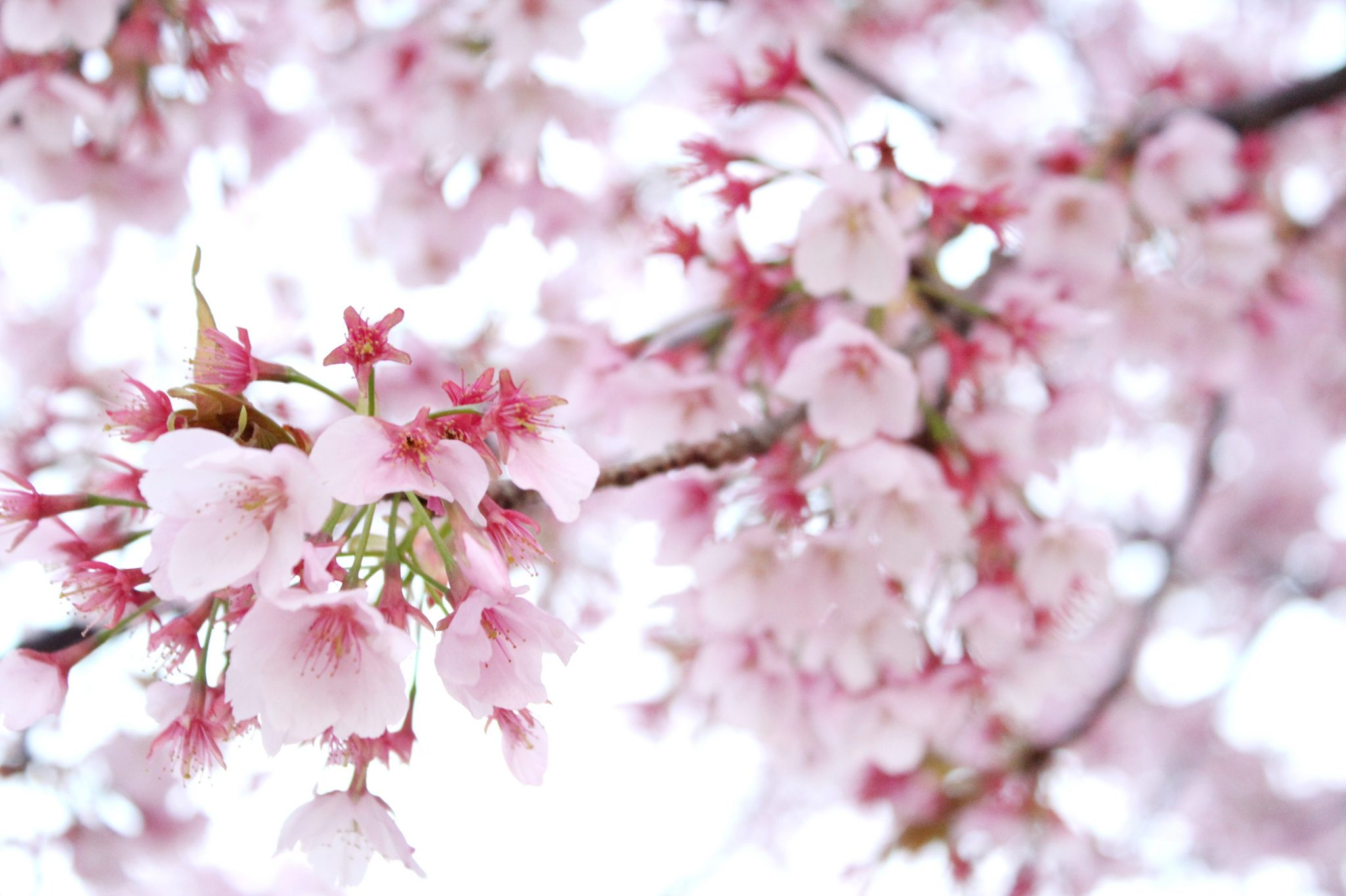 まもなく徳島でも桜が開花! メンズは大至急 桜イベント情報をGETすべし