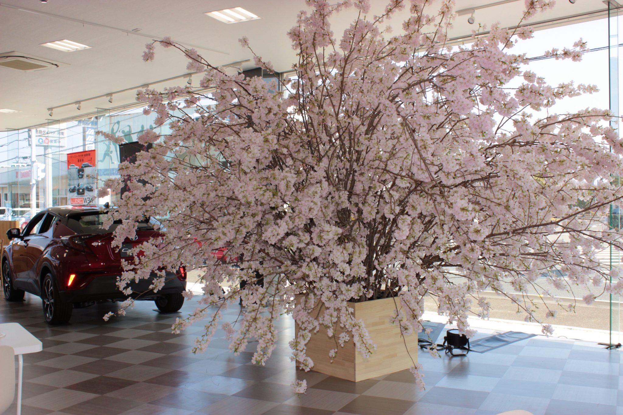 春爛漫! 桜前線がこんなところにも! ショールームに満開の桜が咲き誇る。ライトアップで夜桜見物も出来るぞ。