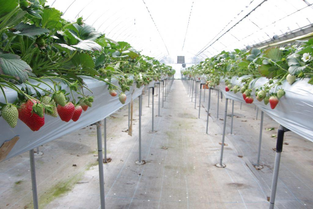 《鳴門市/Strawberry farm HAMADA》シーズン到来!甘酸っぱいイチゴを思う存分楽しめる徳島の最新スポット