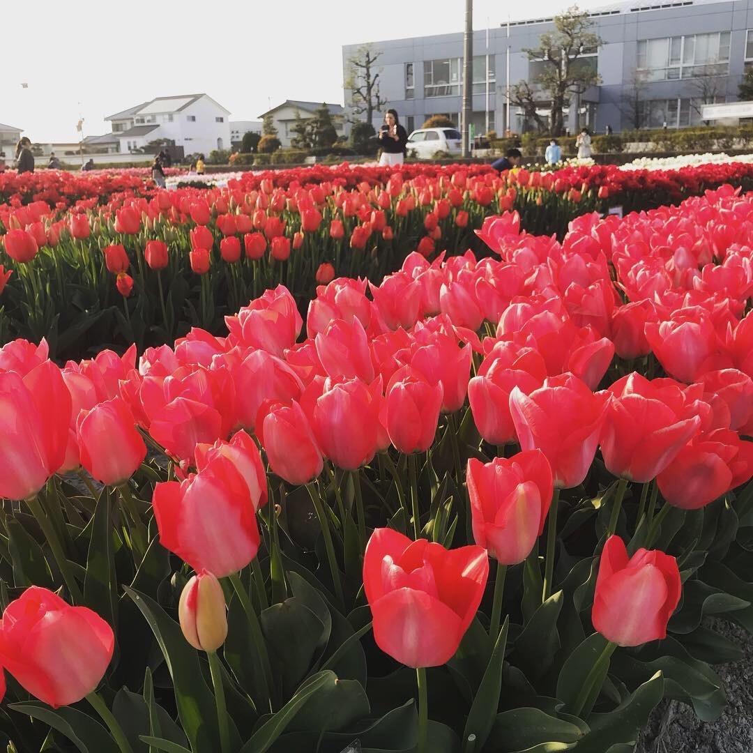 4月~5月上旬の徳島県下お花情報【桜の後は~チューリップに、フジの花】